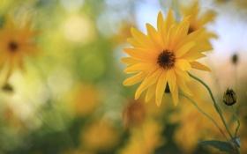 Обои цветок, жёлтый, лепестки, боке