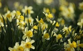 Картинка листья, цветы, природа, весна, желтые, лепестки, бутоны