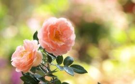 Картинка листья, блики, розы, розовые