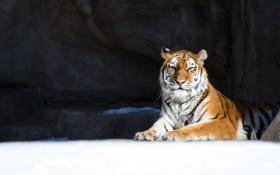 Картинка зима, снег, тигр, отдых, хищник, дикая кошка