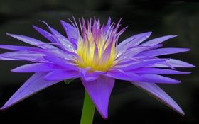 Обои цветок, макро, цветы, flower, flowers, macro, Water Lily