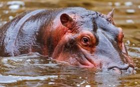 Обои вода, великан, бегемот
