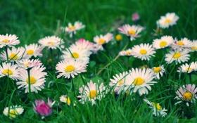 Обои трава, цветы, размытость, белые, полевые, маргаритки
