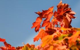 Обои листья, осень, крона, небо, природа, дерево