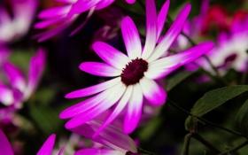 Обои цветы, яркие, Цинерария, крестовник