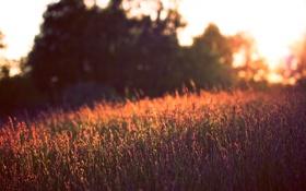 Картинка поле, лето, закат, цветы, природа, фон, обои