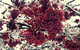 Обои Лед, Макро, Зима, Рябина, Дерево