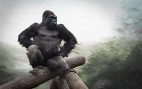 Картинка природа, обезьяна, Gorilla