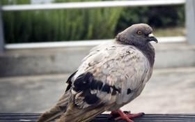 Картинка птица, голубь, боке