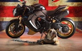 Обои собака, флаг, бульдог, bike, triumph speed tripple bulldog, триумф