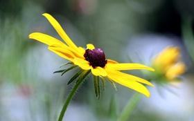 Картинка цветок, желтый, фон, рудбекия