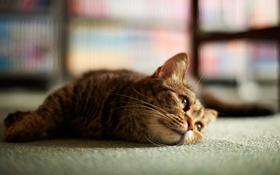 Картинка взгляд, Кошка, пол, лежит