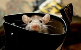 Обои крыска, фото, ботинок, ушки, обои, картинка, фон