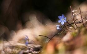 Картинка макро, цветы, природа, стиль, фон, весна, фиалки