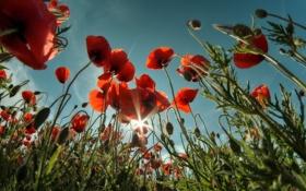 Картинка лето, природа, маки
