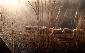 Обои природа, овцы, паутина, паук