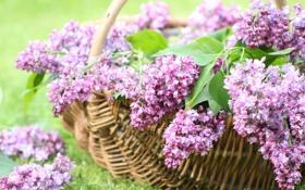 Картинка цветы, корзина, весна, цветение, сирень