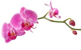 Обои орхидея, орхидеи, лепестки, beauty, ярко-розовая, branch, bright