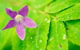 Обои капли, цветок, роса, природа, лепестки, лист