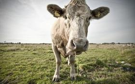 Обои язык, корова, by Robin de Blanche, показывает, MoOo