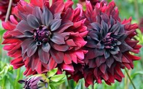 Обои цветы, красный, фото, бордовый, георгины
