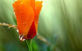 Обои цветок, лето, цвета, капли, оранжевый, зеленый, роса