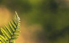 Обои зелень, папоротник, боке