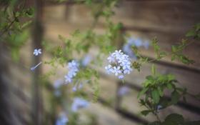 Обои цветок, лепестки, голубые