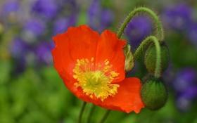 Картинка цветок, оранжевый, мак, лепестки, размытость