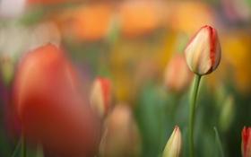 Картинка поле, оранжевый, тюльпан, фокус, весна, размытость