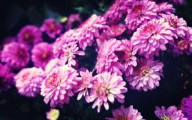Картинка flower, pink, purple, chrysanthemum