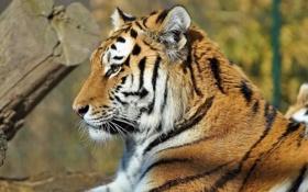 Картинка усы, морда, полоски, тигр, лежит, профиль