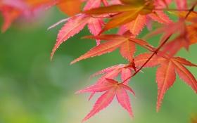 Картинка листья, осень, багрянец, ветка