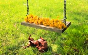 Обои лето, цветы, качели, собака