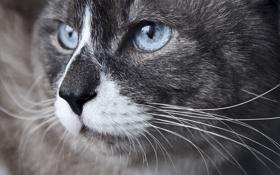 Картинка кот, усы, нос, голубые глаза, красавец