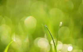 Картинка зелень, трава, капля, травинка