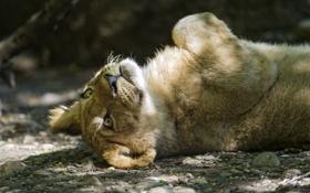 Картинка кошка, отдых, тень, лев, детёныш, котёнок, львёнок