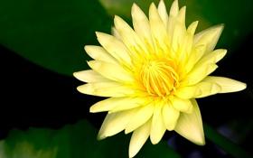 Обои цветок, лилия, лепестки, желтая, водяная
