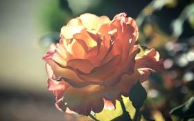 Обои цветок, роза, лепестки