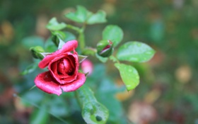 Картинка роза, листья, лепестки, цветок