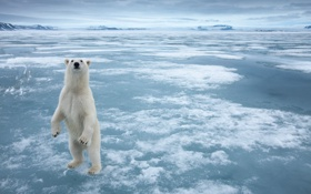 Картинка белый, снег, лёд, равнина, медведь, мороз, стоя