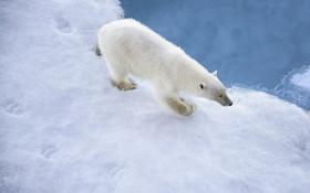 Обои зима, снег, белый медведь, хищник, следы