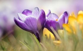 Обои макро, цветы, весна, крокусы