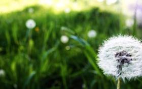 Картинка поляна, цветок, стебель, одуванчик, macro, поле, макро