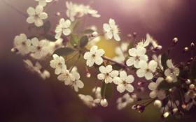Обои весна, вишня, цветение, лепестки, cherry blossom, цветок, flower