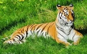 Картинка усы, морда, полоски, отдых, Тигр, лежит, на траве