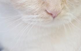 Обои белый, кот, усы, нос, мордочка