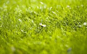Обои трава, фокус, ромашка