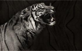 Обои тигр, чёрно-белое, хищник, арт