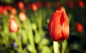 Картинка поле, макро, тюльпаны